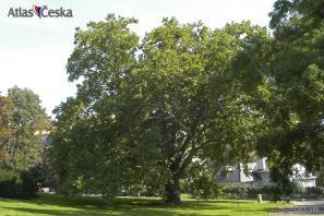 Chráněný strom v Kinského zahradě