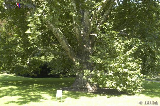 Chráněný strom v Kinského zahradě -